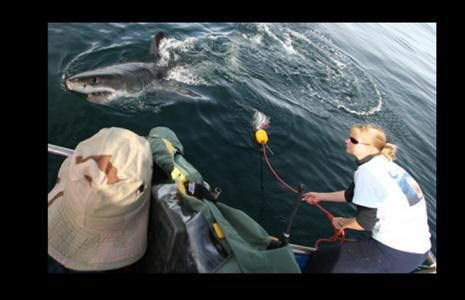 http://ocean.si.edu/great-white-shark#at_pco=smlwn-1.0&at_si=549e99372add9380&at_ab=per-2&at_pos=0&at_tot=1:Credit: © Andy Casagrande IV / Save Our Seas Save Our Seas wetenschapper Alison Kock labels een grote witte haai.