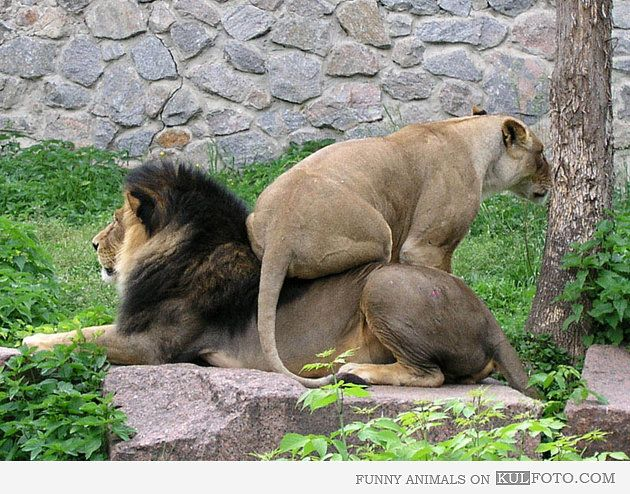 Get off my back, woman!: Big Cat, Laughing, Lion, Animal Pictures, Funny Pics, Quote, Funny Stuff, Even, Dammit Woman