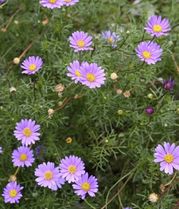 Australian Brachyscombe daisies, a very pretty groundcover.