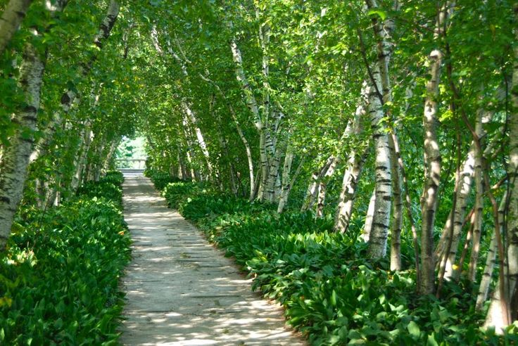 214 best arch allee pathways images on pinterest for Silver birch trees for small gardens
