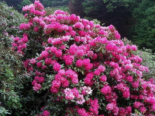 Oasi Zegna, (Biella) Conca dei Rododendri   #Piemonte #Italy  #flowers #spring #Biella