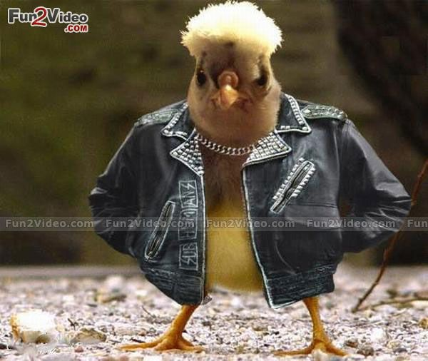 Funny Chicken Style   [  More Funny Chicken Photos: http://www.fun2video.com/funny-animals-pictures/   ]