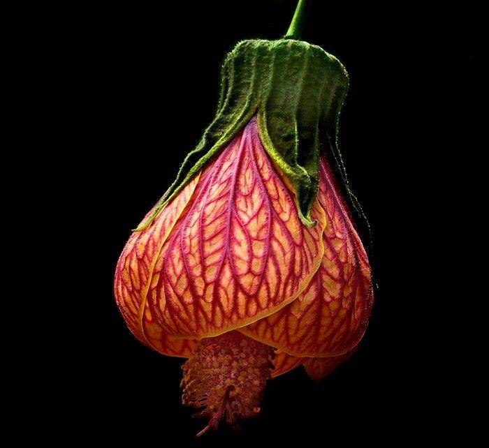 flores exóticas  Lanterna Chinesa