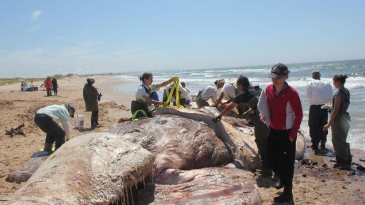Preliminary results from necropsies performed on two North Atlantic right whales on the Magdalen Islands this week suggest one of them was involved in a collision with a ship.