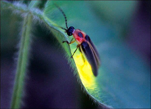 143 Best Images About Fireflies On Pinterest
