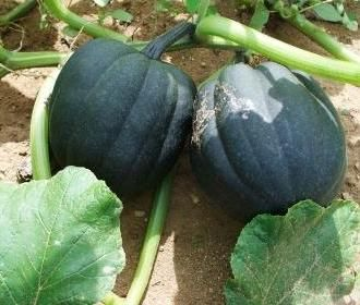 238 Best Images About Melon Squash Gourd Pumpkin On 400 x 300