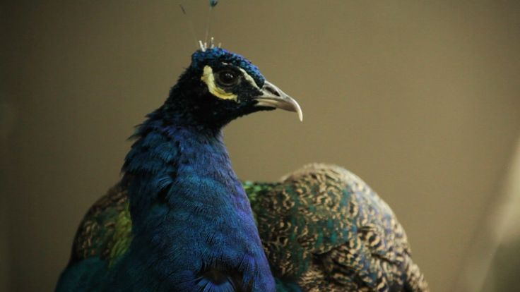 #ZooQs: Why are male #peacock feathers more colorful?