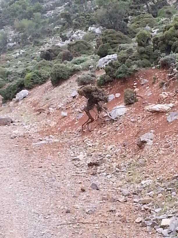 Root walking bush, mount Idi, Kreta
