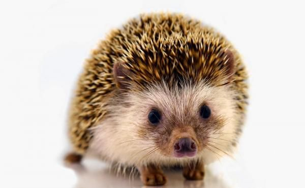 Types Of Hedgehogs A Complete Guide Hedgehog Pet Hedgehog Baby Hedgehog