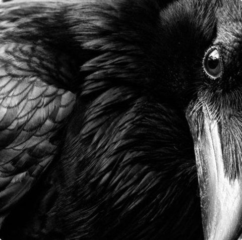 """The raven is a keeper of secrets and can assist us in determining answers to our own """"hidden"""" thoughts...areas in our lives that we are unwilling to face, or secrets we keep that harm us.  The raven can help us expose the truth behind these often distorted secrets and wing us back to health and harmony."""
