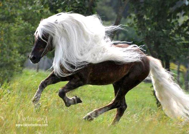silver dapple - Rocky Mountain Horse
