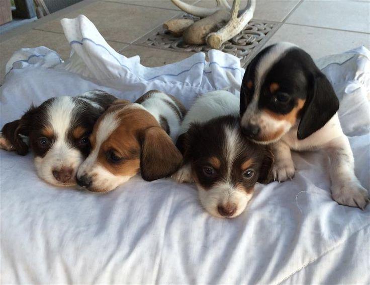 Miniature Piebald Dachshund Puppies | Corpus Christi Caller-Times