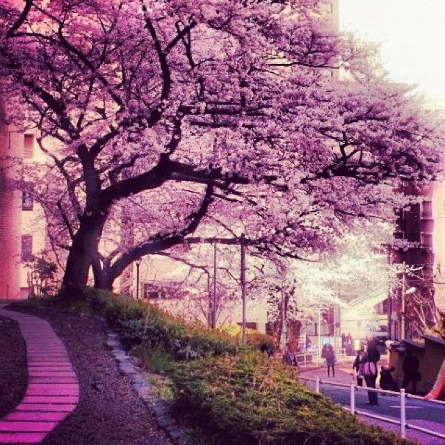 Sakura at Japan 2012