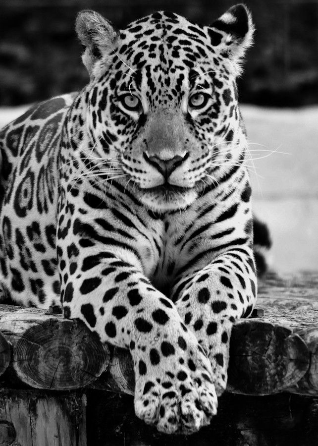 Jaguar black and white