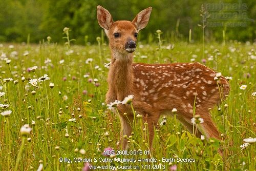 White-tailed deer fawn (Odocoileus virginaus) standing in wildflowers. Pine County, MN