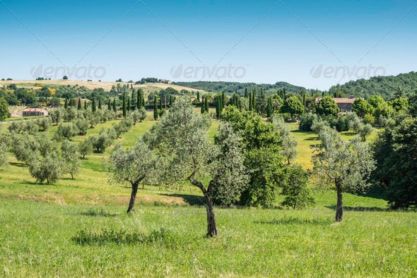Olive trees in Italy ...  agriculture, background, beauty, branch, country, countryside, cultivation, culture, cypress, europe, farm, farming, field, fruit, garden, grass, greece, green, hill, idyllic, italian, italy, landscape, mediterranean, natural, nature, old, olive, outdoor, plant, plantation, rural, scenery, season, sky, summer, tree, trees, trunk, tuscan, tuscany, view, vintage