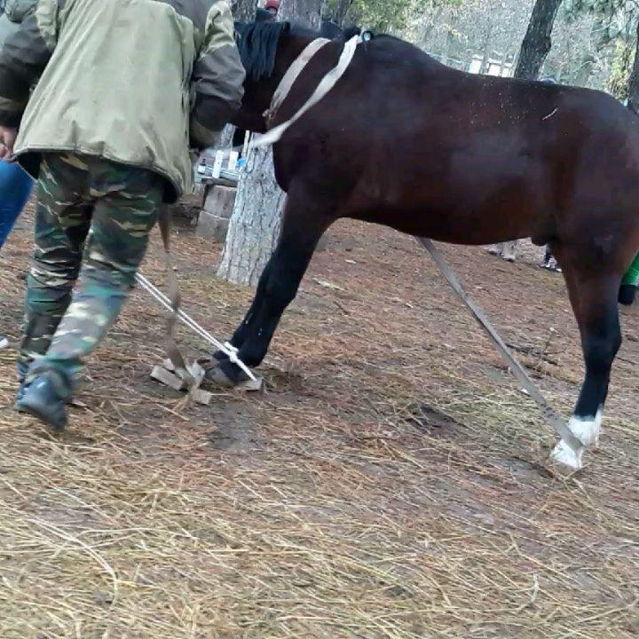 Удаление семенников у жеребца -открытым способом  методом повала.  #кастрация #ветеринары #студенты #пары #хирургия #ветеринария #ветфак #донгау #ветмедицина #ветмед #лошади #лошадь #жеребец #мерин #veterinary #vetmed #vetmedicine #veterinarian #surgery #castration #horse #horses #stallion #gelding #