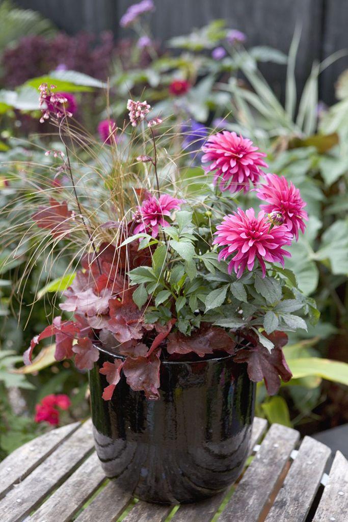 A Vibrant Autumn Plant Pot Planted With Dahlia U0027Gallery Art Nouveauu0027, Carex  U0027