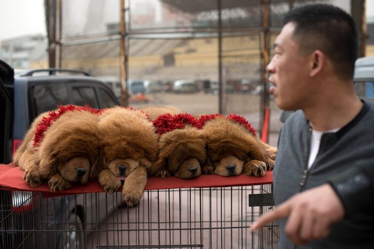 A fluffy litter of four Tibetan mastiff puppies wearing decorative collars sleep atop their crate, where they are being displayed for sale.