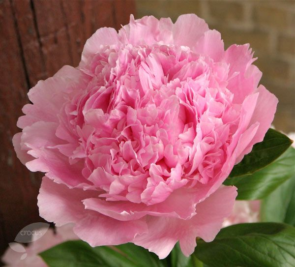Buy peony Paeonia lactiflora 'Angel Cheeks': Delivery by Crocus
