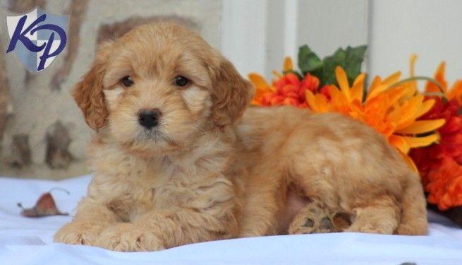 Luke – Goldendoodle – Miniature Puppy www.keystonepuppies.com  #keystonepuppies   #minigoldendoodle