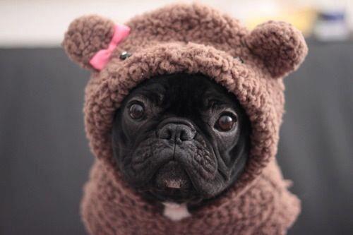 Baby bear bulldog