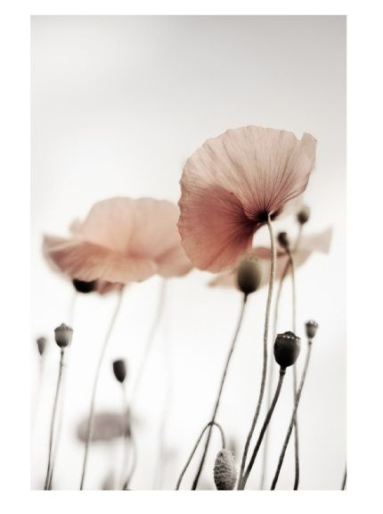 Poppies... Sturdy, flexible and translucent.... Some of my favorite traits on anything!