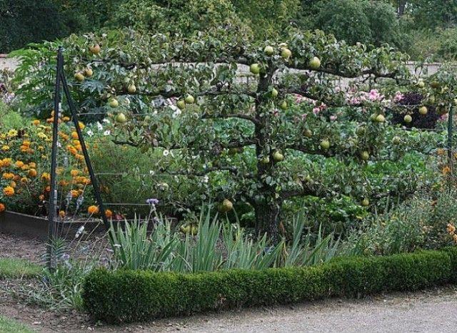 En hiver, au verger, tailler les arbres fruitiers. Pommiers et poiriers en palmette U simple et double, les espaliers.