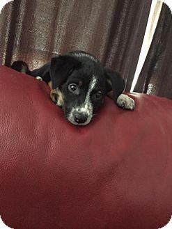 Denver, CO - Australian Shepherd Mix. Meet Rookie, a puppy for adoption. http://www.adoptapet.com/pet/17579763-denver-colorado-australian-shepherd-mix
