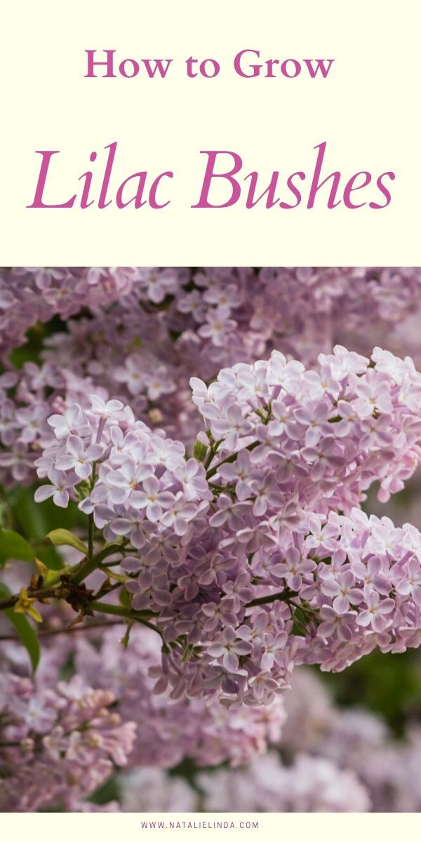 How To Grow A Lilac Bush For Beautiful Blooms In The Spring Natalie Linda In 2020 Lilac Bushes Flower Garden Care Fragrant Flowers