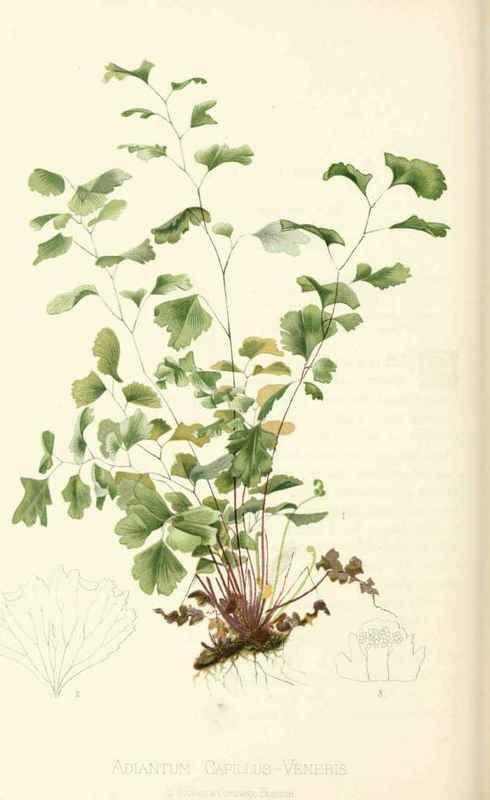 True Maiden-Hair Fern. Adiantum Capillus-Veneris, Linnaeus. Natural Order, Filices