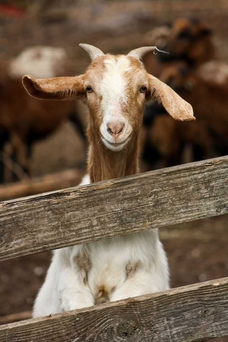 A Goat S Journey Over Life S: 17 Best Ideas About Happy Goat On Pinterest
