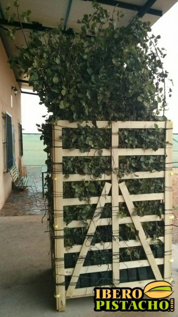Palet de planta injertada 500 unidades pistacho Kerman. Gran vigor y altura de planta Octubre 2016 iberopistacho.com Lideres en planta injertada de pistacho