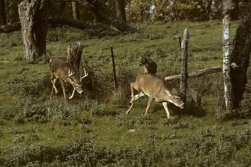 Deer behavior, feeding habits, daily movements, communication, rut activity, home ranges, bedding sites, hunting pressures,  hunting tips, field age deer, travel patterns.