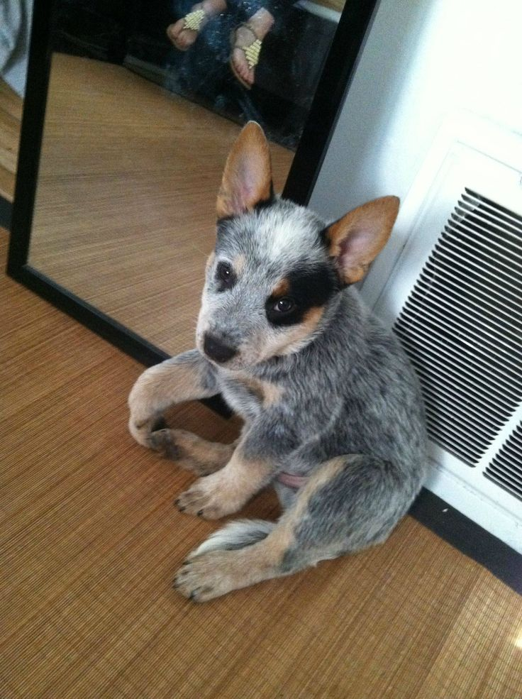 Blue Heeler – A Complete Guide To The Australian Cattle Dog