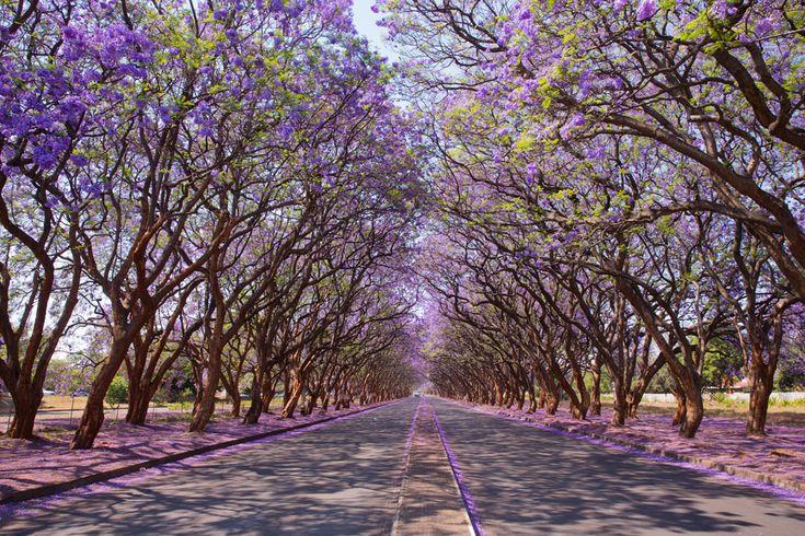 jacaranda trees purple the open road stock photo