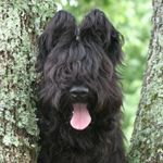 I want one!!: Puppies Living, Briard Puppies