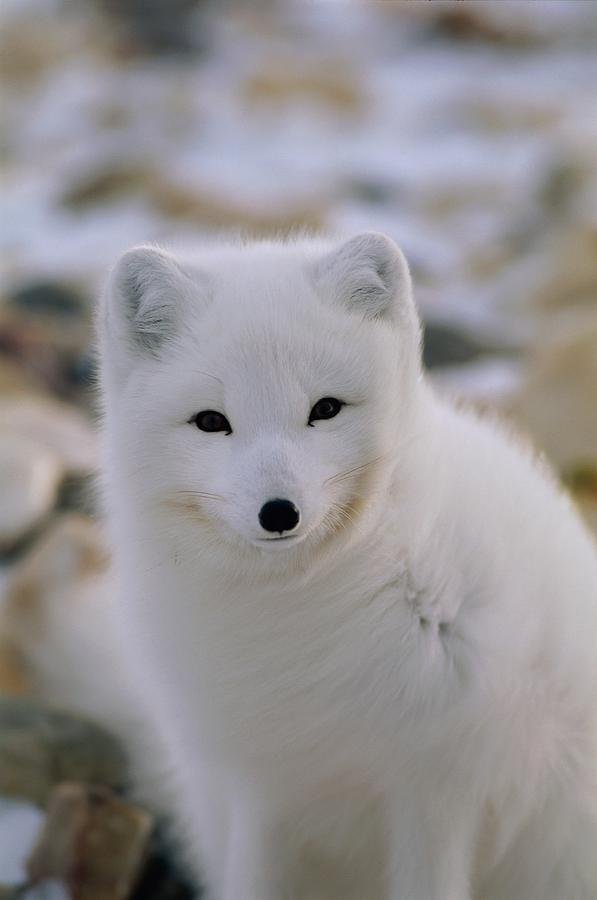 Arctic Fox Pups Drawings