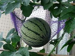 Growing Watermelons in a Small Space  http://www.mybalconyjungle.com/watermelons.html