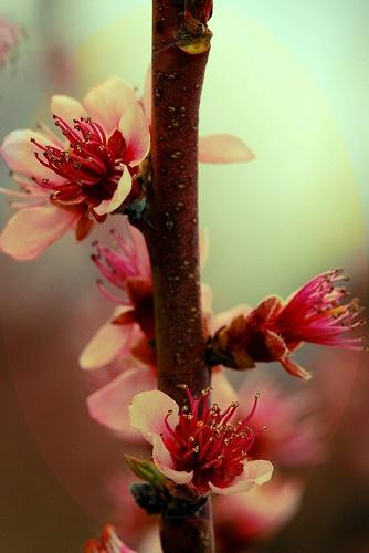 Cerejeira.