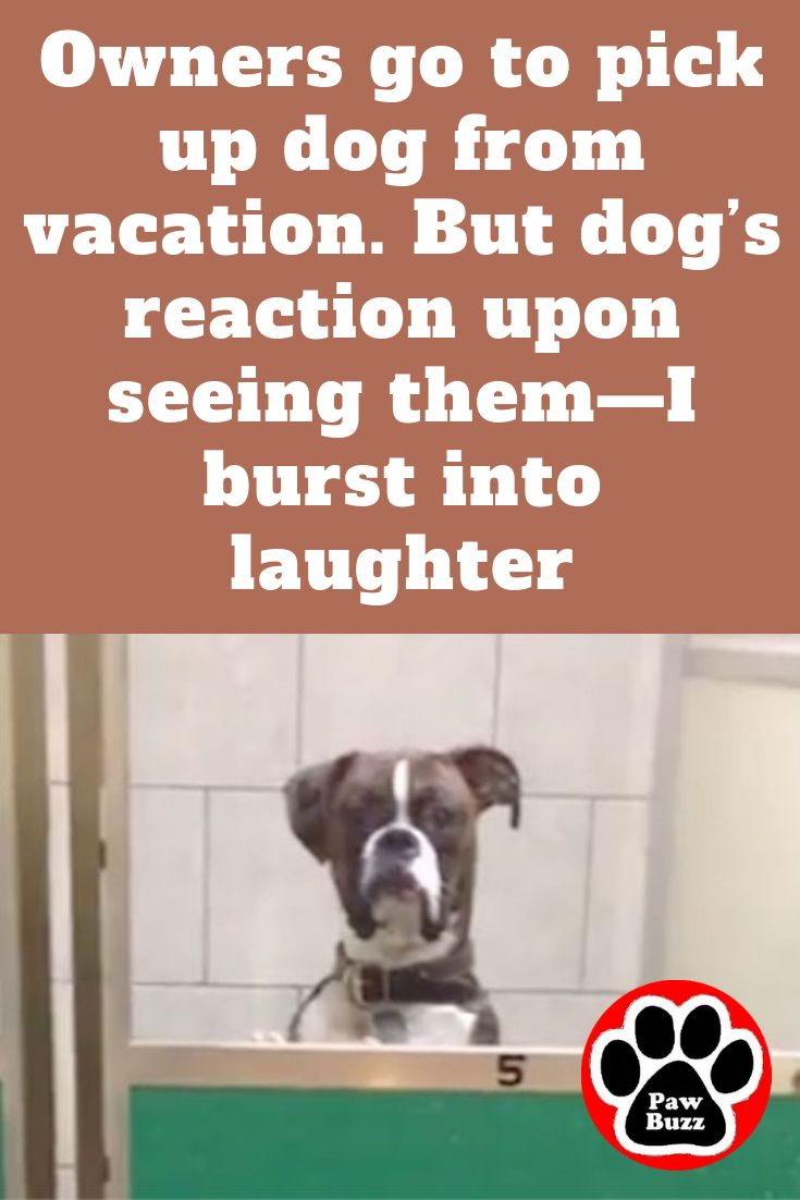 Owners Go To Pick Up Dog From Vacation But Dog S Reaction Upon Seeing Them I Burst Into Laughter In 2020 Boxer Dogs Funny Dog Farts Boxer Dog Quotes