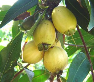 Trade Winds Fruit - Syzygium jambos - Rose Apple, (http://www.tradewindsfruit.com/syzygium-jambos-rose-apple-seeds)