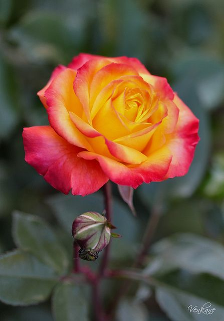 Pink & Yellow Rose ~ for decoration in the hair possibly : 3