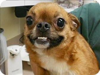 Salisbury, MD - Pug/Chihuahua Mix. Meet Sedona, a dog for adoption. http://www.adoptapet.com/pet/12261908-salisbury-maryland-pug-mix