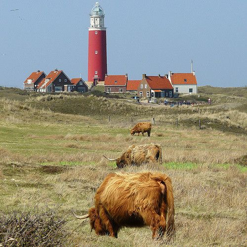 Lighthouse village of Texel by Ben the Man on Flickr - Highland cattle grazing in the Dunes of Texel next to the lighthouse of Texel