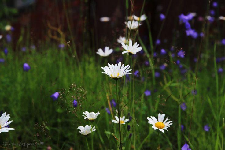 kesäkukkia niilytllä, päivänkakka, meadow flowers