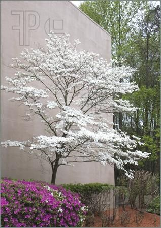 Photo of A pink azalea and a white dogwood tree at a landscaped building