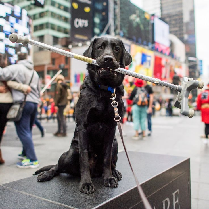 """Charlie & Smudge, Labrador Retrievers (10 & 4 m/o), Times Square, New York, NY • """"Charlie is the @Todayshow's 'Puppy with a Purpose' and is about halfway through his training for @americasvetdogs – we are hoping to have him ready for a veteran by December. He can be trained to retrieve any sort of assistive device – a cane, a wheelchair, or prosthetic limbs. We take them to environments like this so they can learn to feel comfortable with a lot of distractions. When they're comfortable, they…"""