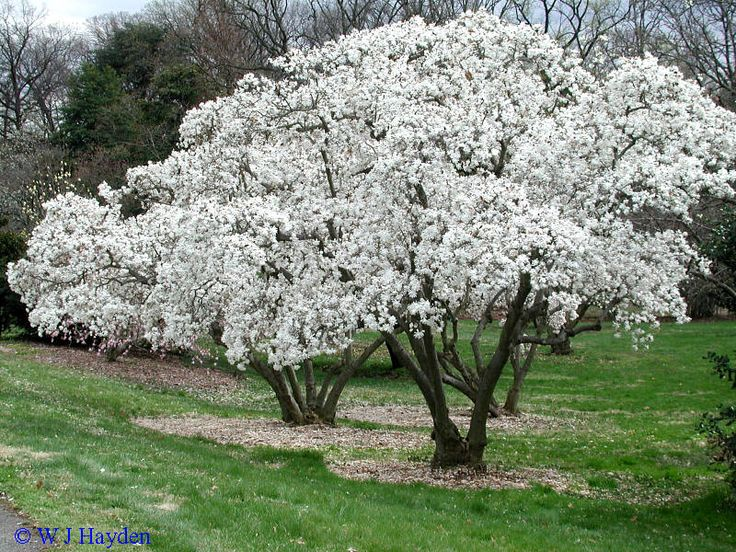 magnolia stellata pictures zone 6 trees pinterest pictures and magnolias. Black Bedroom Furniture Sets. Home Design Ideas