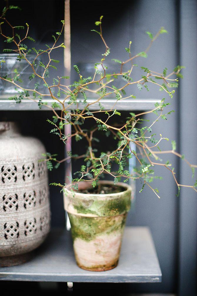 'Sophora prostrata- är nära släkt med det underbara pagodträdet som växer i södra Sverige. Hon påminner om ett litet miniträd med sitt sirliga växtsätt. Under sommaren står hon i ett av mina skuggigare fönster, men vintertid flyttas den över till det ljusaste rummet. Ställ gärna ut dvärgkowhaien under sommarhalvåret. På vintern tappar den en del blad, men det kommer nya på våren. Plantera om vartannat år i ny näringsrik blomjord. Toppa ytan på våren med lite kogödsel.